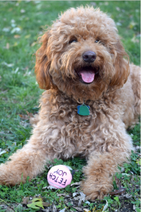 Red happy goldendoodle dog with tongue out with pink tennis ball between paws lying on green grass