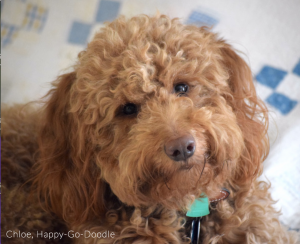 red goldendoodle's face photo