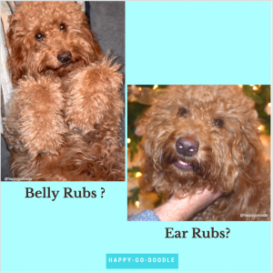 Red goldendoodle dog with paws up and begging eyes; doodle getting an ear rub