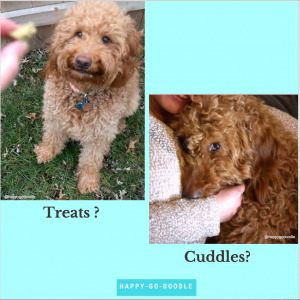 Red goldendoodle looking at a treat and doodle snuggled with person