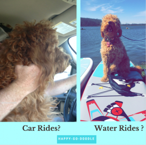 Red goldendoodle in truck and doodle on a paddle board