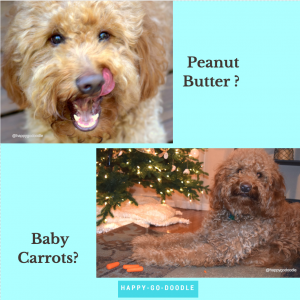 Close-up of red goldendoodle with tongue out and same doodle with baby carrots by Christmas tree