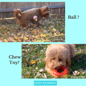 Red goldendoodle with pink tennis ball and red goldendoodle with red toy ring