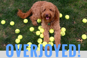 Photo red goldendoodle dog and tennis balls to celebrate best new pet blog