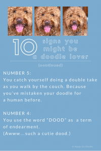 red goldendoodle dog and two reasons you might be a doodle dog fanatic with number 5 you catch yourself doing a double take as you walk by the couch because you've mistaken your doodle dog for a human before