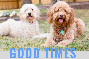 Red goldendoodle dog and white doodle dog lying on grass with smiling puppy faces and good times title in blue