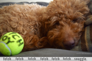 Red goldendoodle dog sleeping with yellow tennis ball