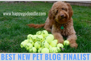 Happy-Go-Doodle, a red goldendoodle dog, with pile of tennis balls and title best new pet blog finalist
