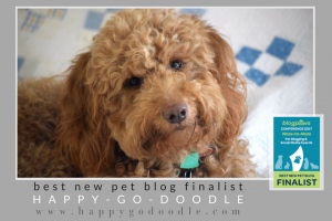 Photo Red goldendoodle, with BlogPaws 2017 Best New Pet Blog Finalist logo