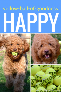photo red Goldendoodle and title happy for best new pet blog