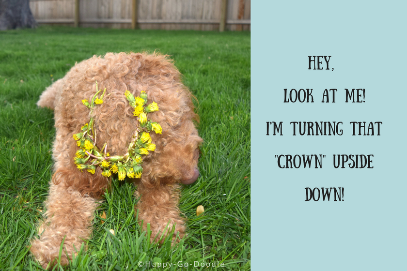 red goldendoodle dog with flower crown falling from her head