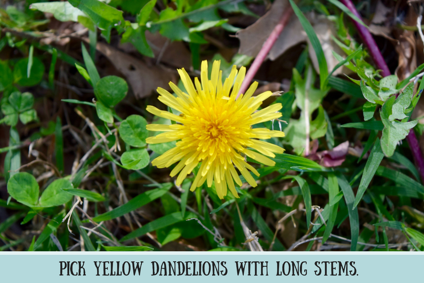 Close-up of yellow dandelion on green grass with instructions pick yellow dandelions with long stems
