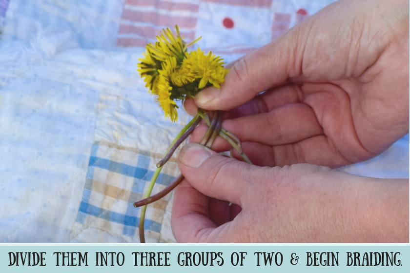 Hands holding six yellow dandelions with stems crossed and instruction to divide stems in three groups