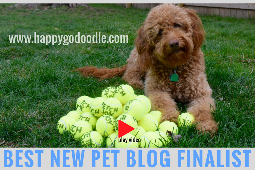 red goldendoodle dog with dozens of yellow tennis balls on green grass and title best new pet blog finalist