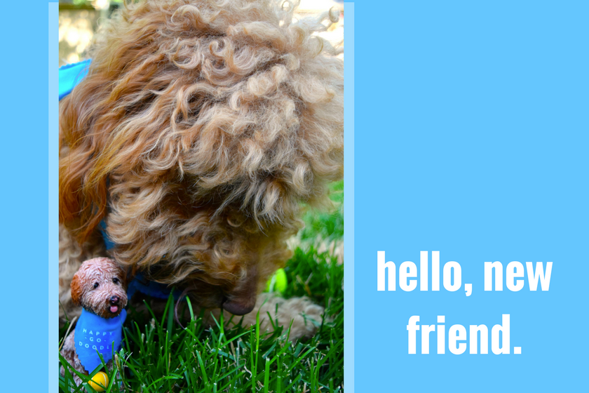 """Red goldendoodle dog checking out her matching dog bobblehead with type """"hello, new friend"""""""