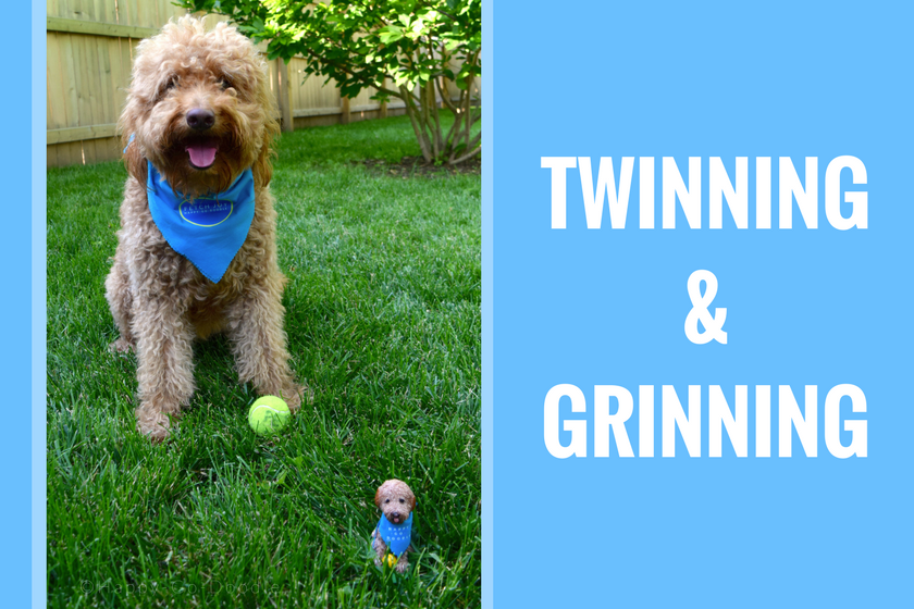 """Happy-Go-Doodle, a red goldendoodle dog, sitting with a matching dog bobblehead in the green grass with type """"twinning and grinning"""""""