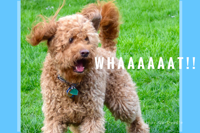 """Red goldendoodle god with surprised look and word """"WHAAAAT"""" by dog's mouth"""