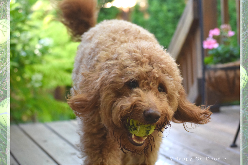 """Red goldendoodle dog with happy expression and carrying a tennis ball in dog's mouth that says """"family"""" and green foliage"""