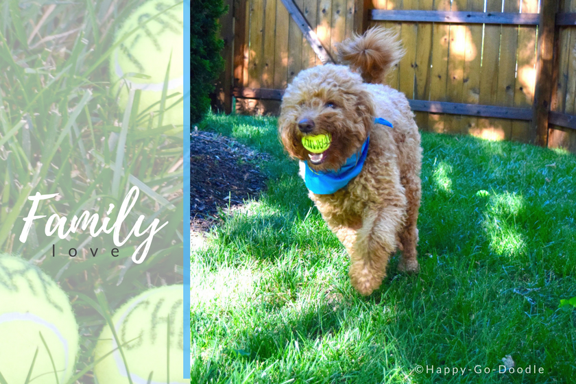 Happy-Go-Doodle Chloe, a red goldendoodle dog,wearing blue dog bandana running with yellow tennis ball that says family.