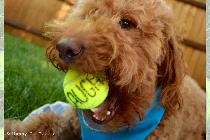 Happy-Go-Doodle Chloe, a red goldendoodle dog with blue dog bandana, catching a ball in dog's mouth with the word laugh