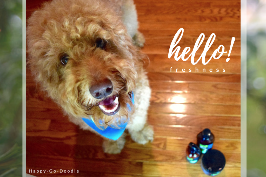 """Happy-Go-Doodle Chloe, a red goldendoodle dog, says """"hello freshness"""" to Fresh Wave odor eliminating products"""