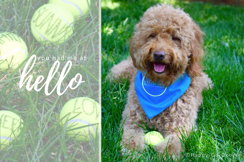 Red goldendoodle dog with blue dog bandana on green grass and tennis balls with title you had me at hello