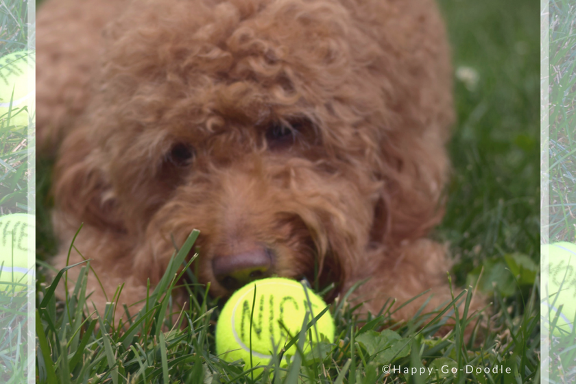 """Happy-Go-Doodle Chloe, a red goldendoodle dog, lying in green grass and studying a tennis ball with the word """"nice"""" on it"""
