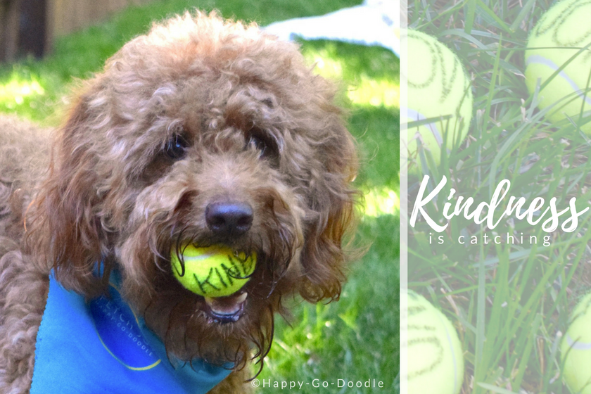 """Happy-Go-Doodle Chloe, a red goldendoodle dog, with tennis ball in mouth that reads """"kind"""" and quote """"kindness is catching"""" on dog ball border"""