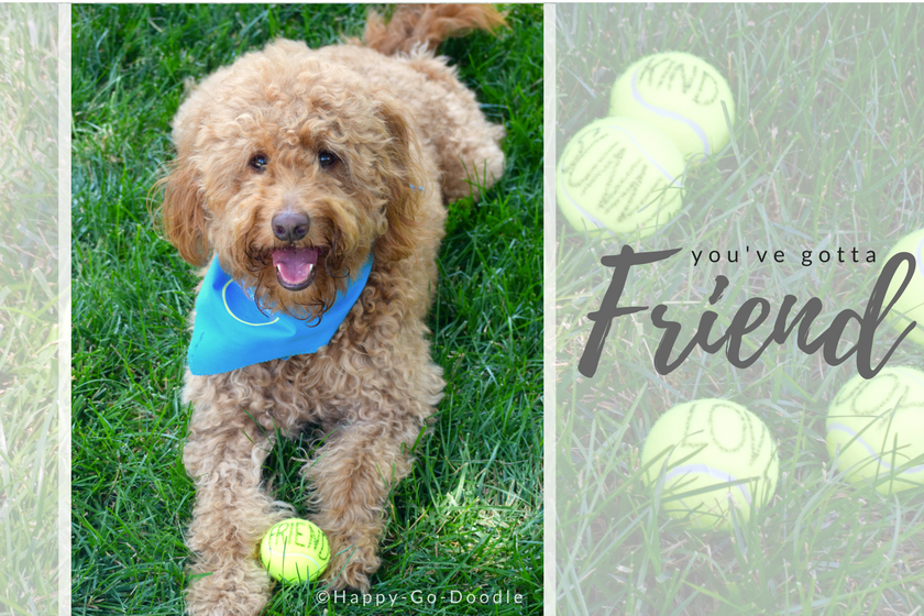Chloe, a red goldendoodle dog lying in grass with yellow tennis ball that say's friend and title you've gotta friend