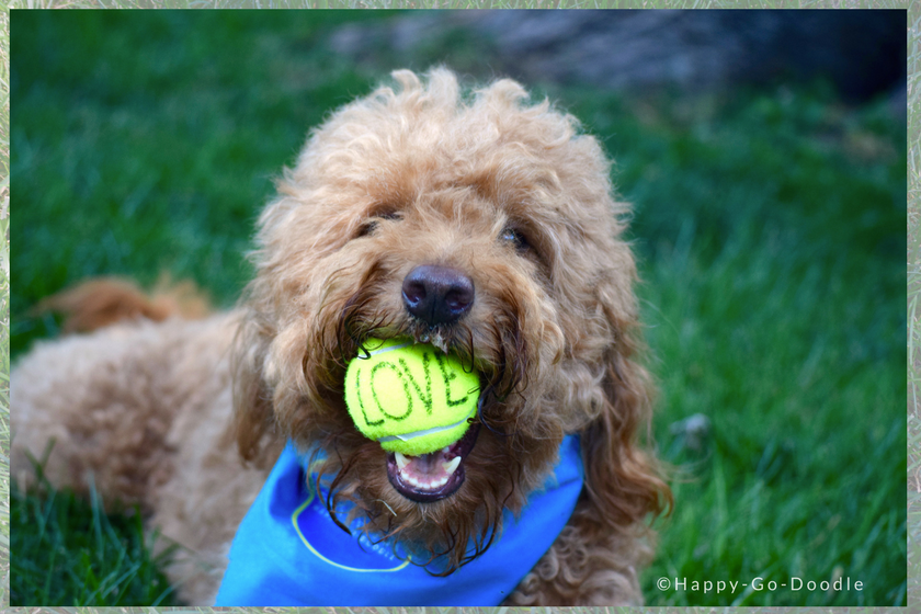 """Happy-Go-Doodle Chloe, a red goldendoodle dog, holds a tennis ball in her mouth. Dog's ball has the word """"LOVE"""" written on it."""
