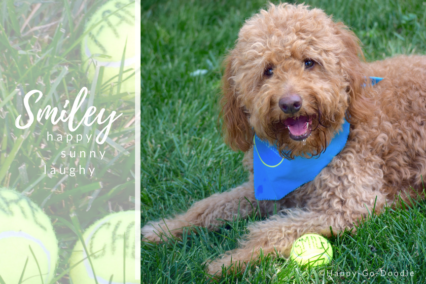 """Red goldendoodle dog, Chloe, looks at the camera as she is sitting on green grass. Tennis ball says """"smiley"""" and includes dog quote smiley happy sunshiny laughy"""