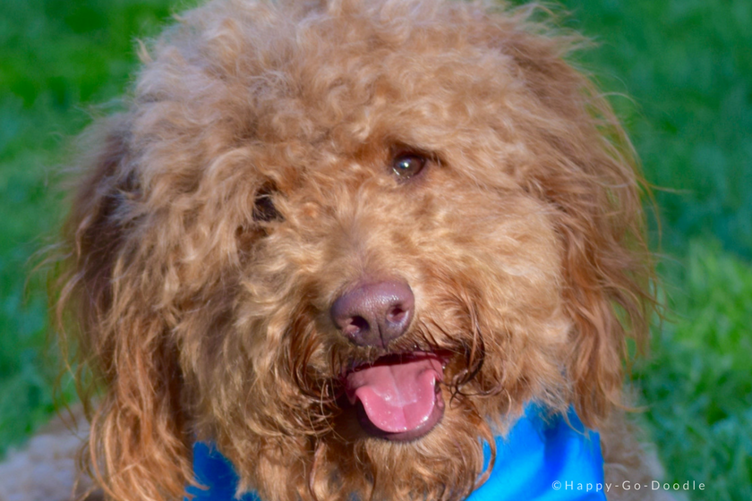 Red goldendoodle dog's face with quizzical expression and tongue out