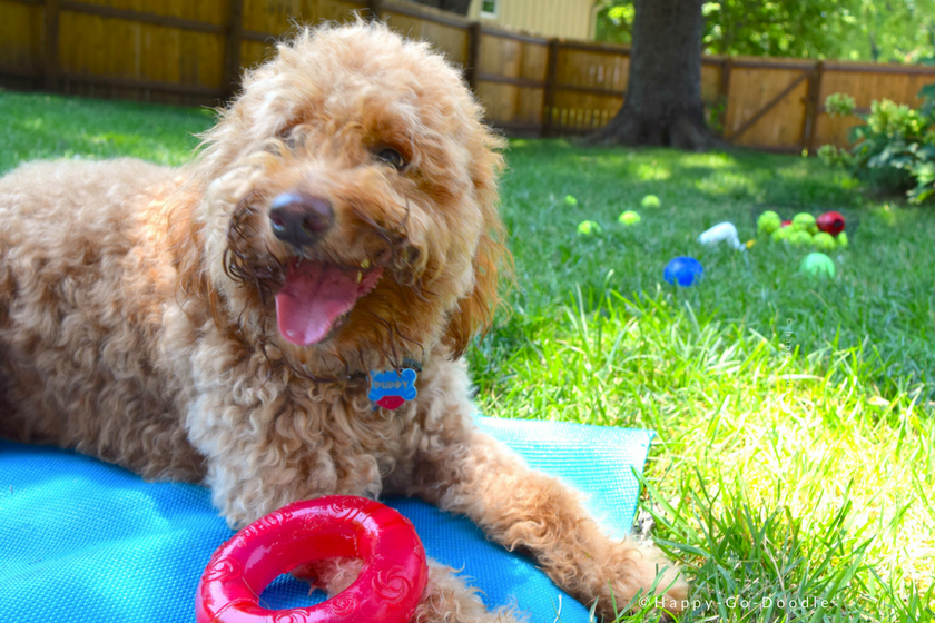 Happy goldendoodle dog with a red toy and other favorite toys scattered on the green lawn.