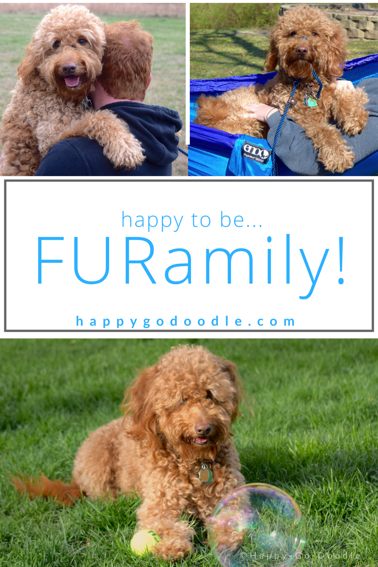 Red goldendoodle dog collage of dog with with bubble, dog hammocking, dog being carried and title dogs are family