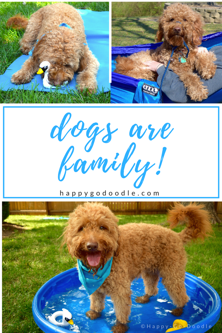 Red goldendoodle dog collage of dog with squeaky toy, dog hammocking, dog in kiddie pool and title dogs are family