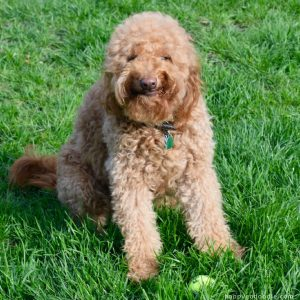 Red goldendoodle dog with silly grin on face and sitting in green grass