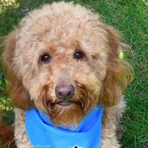 Close-up of red goldendoodle dog's sweet face and blue dog bandana