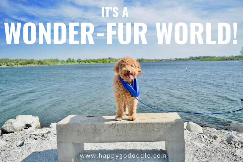 red goldendoodle dog standing on a bench in front of an expansive lake and the dog puns it's a wonder-fur world