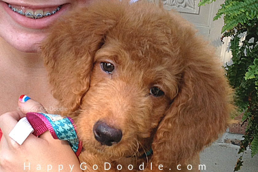 goldendoodle puppy face